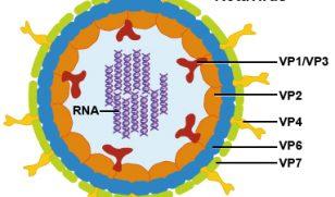 Infecția cu Rotavirus – manifestări, prevenție